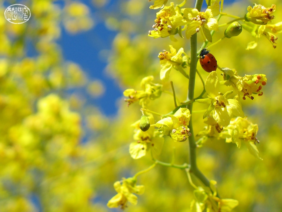 Lost in the palo verde blossoms