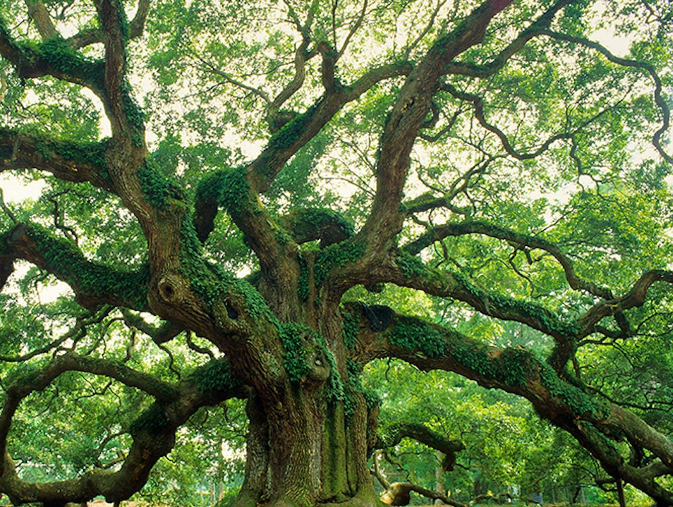Angel Oak Tree Charleston South Carolina United States