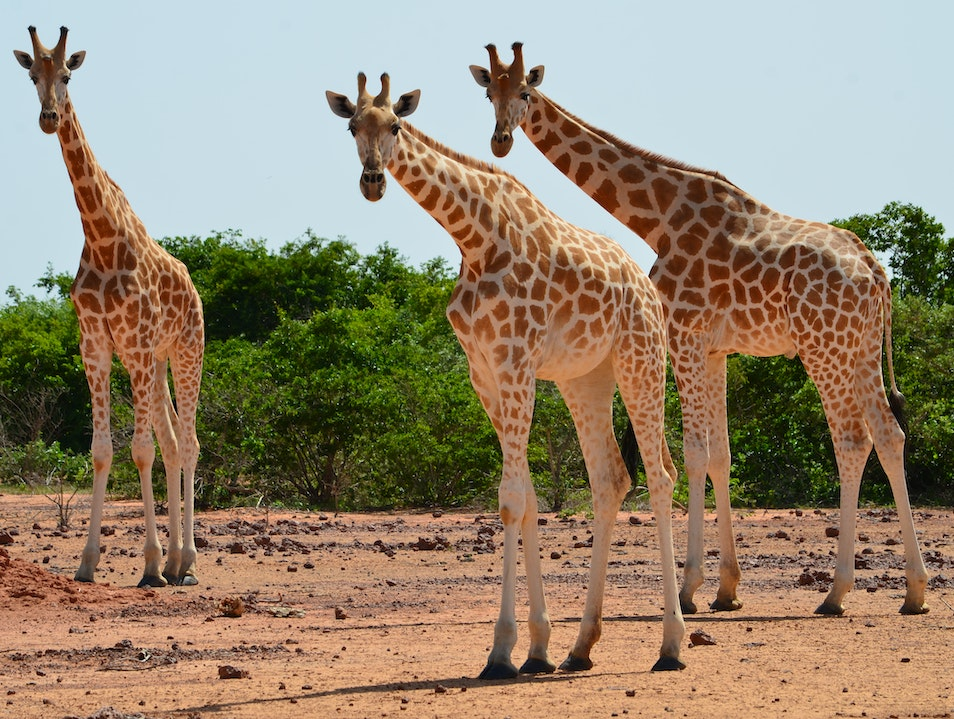 Roaming with West Africa's Last Wild Giraffe Herds Koure  Niger