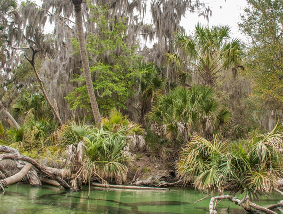 Manatees Migrate to Blue Springs