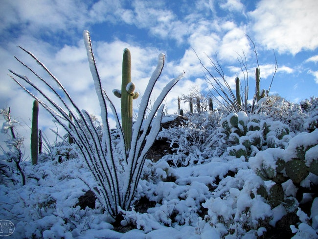 Snow Falling on Saguaros, a Tucson Winter Spectacle