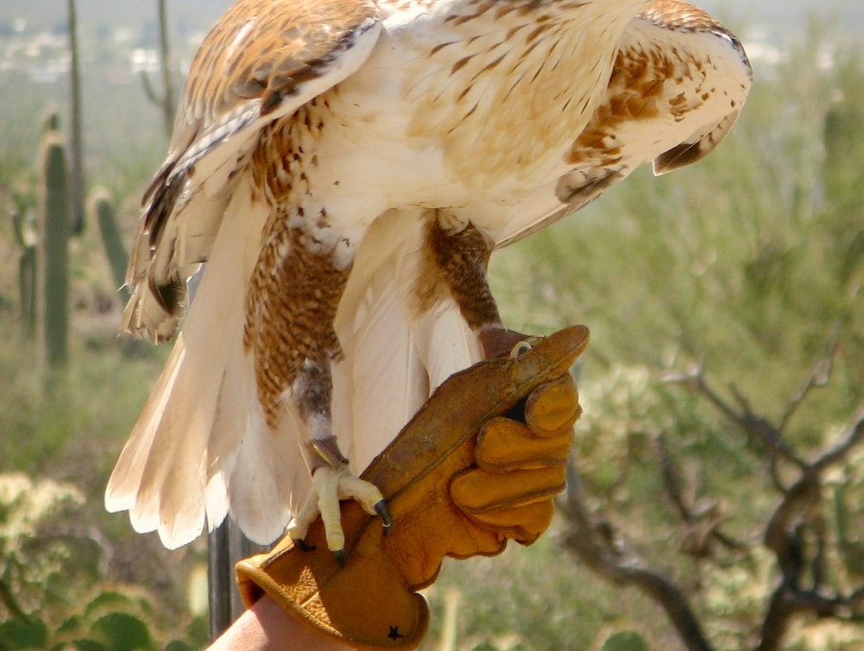 Up Close at the Raptor-Free-Flight Tucson Arizona United States