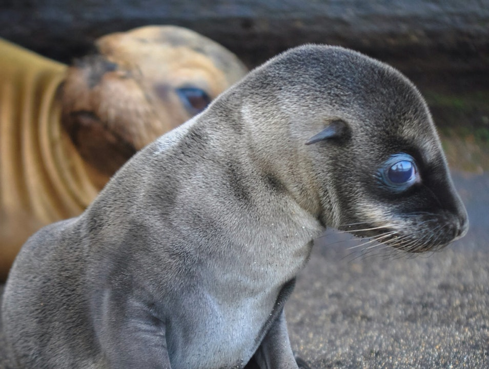 Cutest Baby Sea Lion Ever! Galápagos Islands  Ecuador