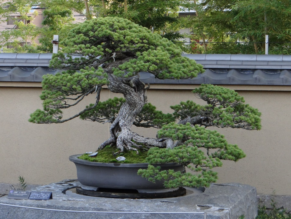 Learning the Art of Bonsai Trees Saitama  Japan