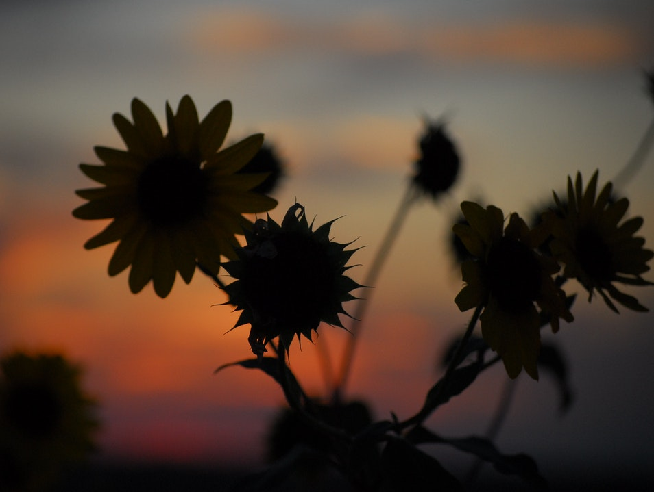 Blackeyed Susans Against a West Texas Sunset Lubbock Texas United States