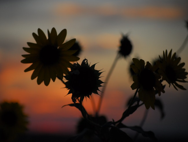 Blackeyed Susans Against a West Texas Sunset