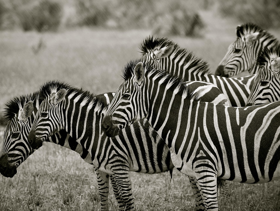 Black & White in Rain Kruger Park  South Africa