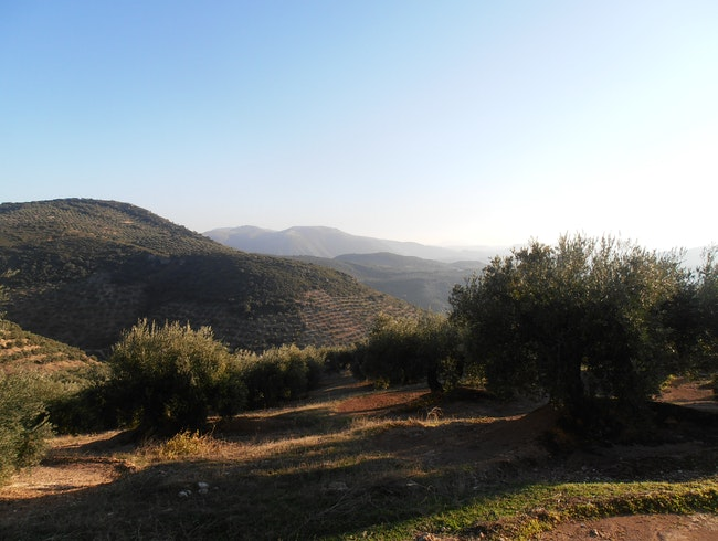 Wandering the Green Sea of Olive Groves