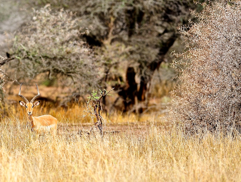 Impala in Beautiful Bush