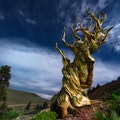 Ancient Bristlecone Pine Forest Big Pine California United States
