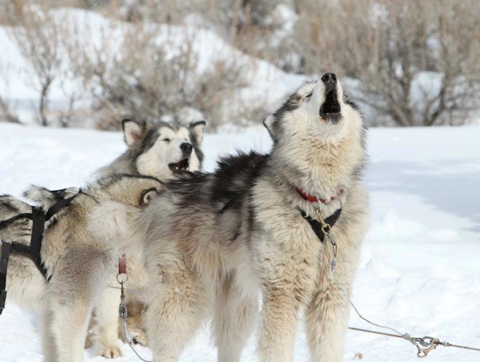 Dogsledding in Park City
