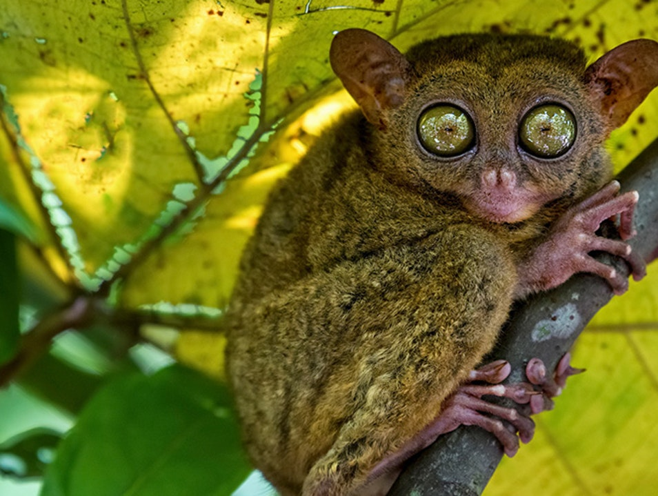 Tarsier: The Philippines' Big-Eyed Primate in Bohol  Corella  Philippines