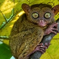 Philippine Tarsier and Wildlife Sanctuary Corella  Philippines