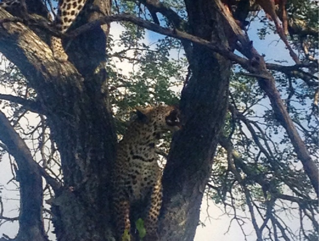Leopards Eating Dinner -Ngala Game Reserve SA