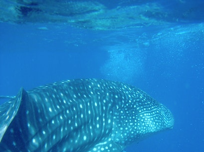 Whale Shark Adventure Isla Mujeres  Mexico