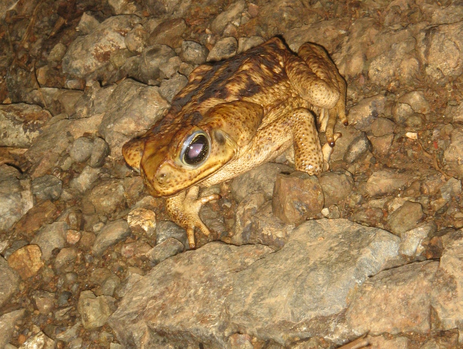 We meet someone on the road.. Its a TOAD! Guanacaste  Costa Rica