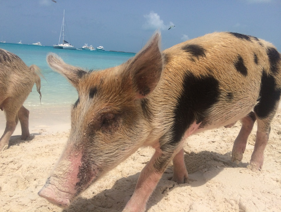 Swimming with pigs in the Bahamas Black Point  The Bahamas