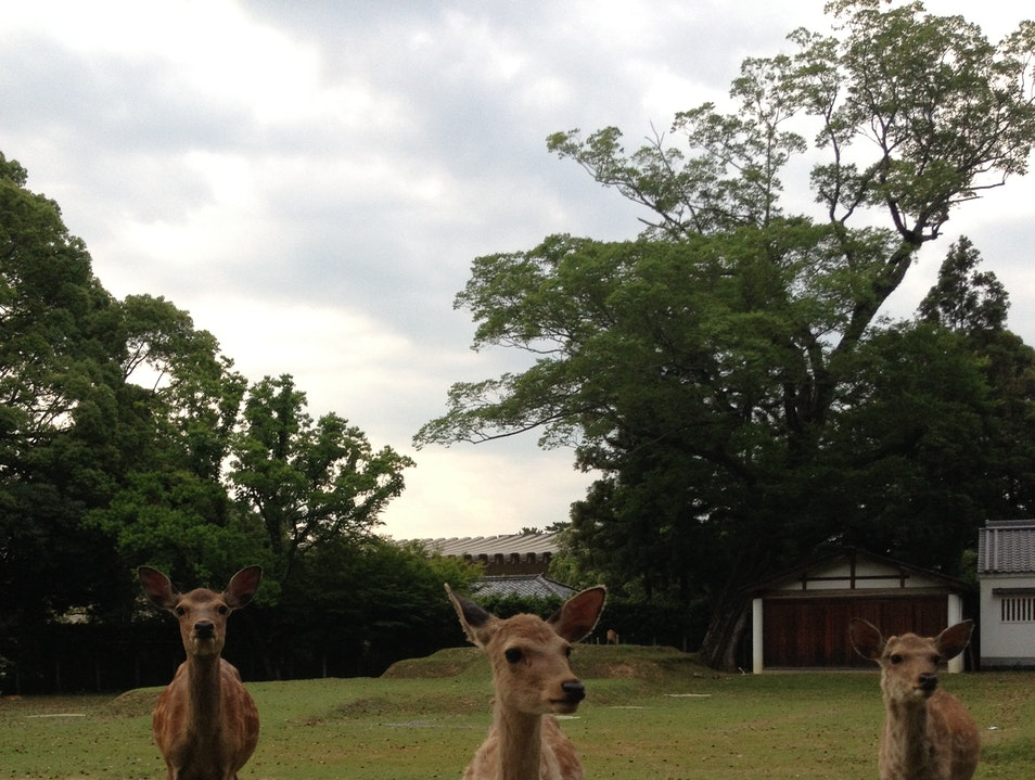Docile deer in a city park Nara  Japan