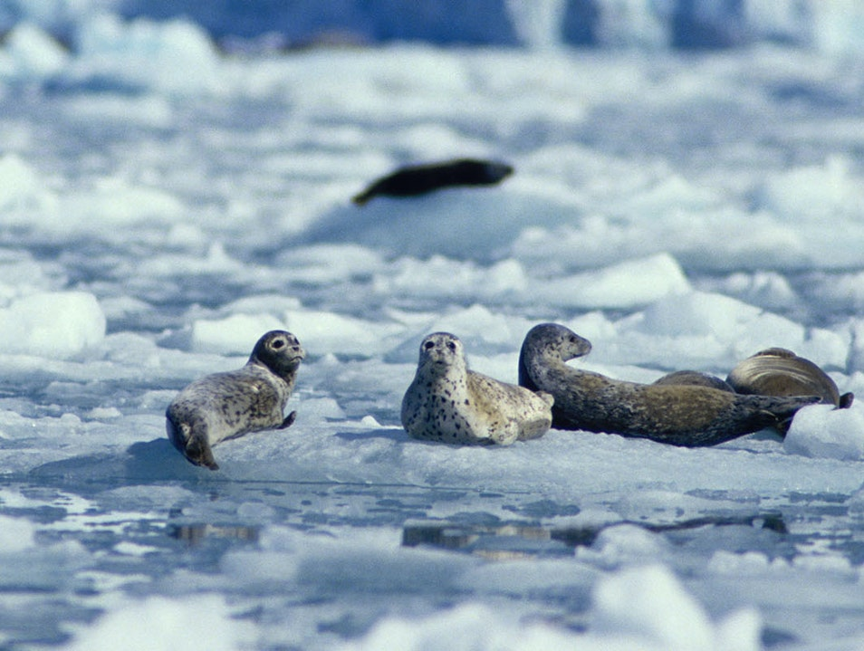 Wildlife at Hubbard Glacier Yakutat Alaska United States