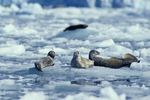 Wildlife at Hubbard Glacier