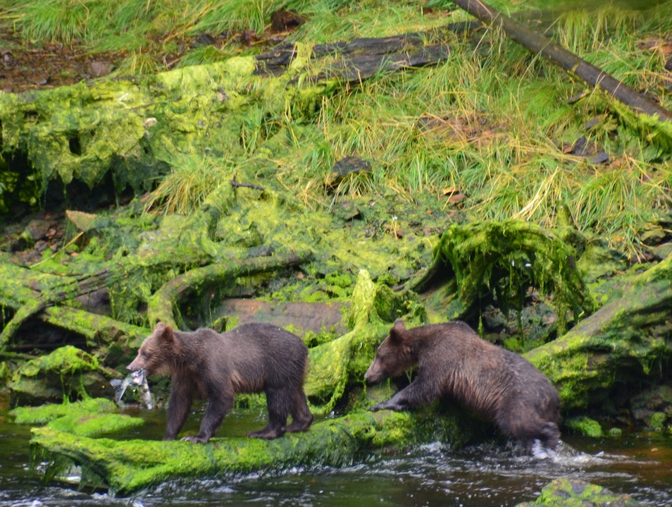A, B, C's of Brown Bear Viewing