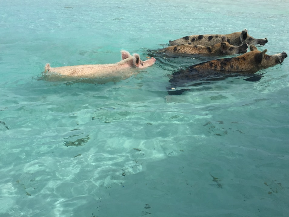 Pigs, Sharks and Iguanas Exuma  The Bahamas