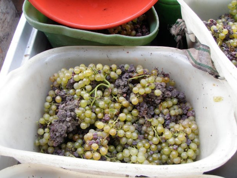 Freshly picked grapes from the harvest Dürnstein  Austria