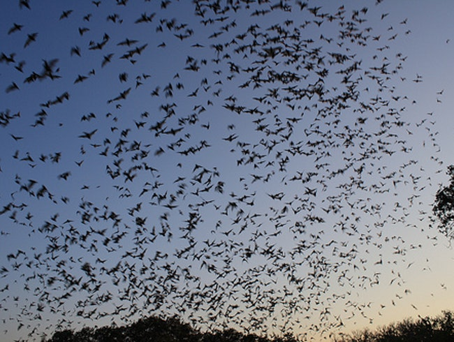 Watch the Waugh Bridge Bats Take Flight