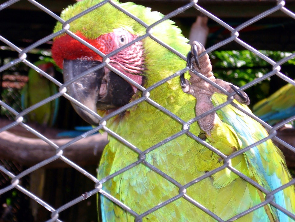 Great Macaw Conservation Park Alajuela  Costa Rica