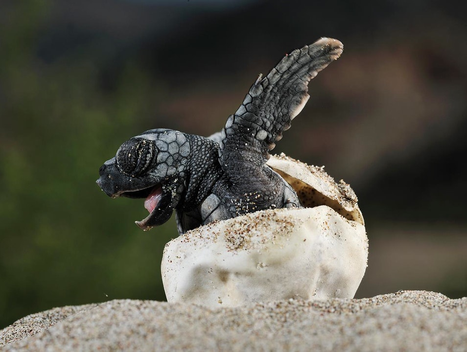Saving turtle eggs from being poached and sold.
