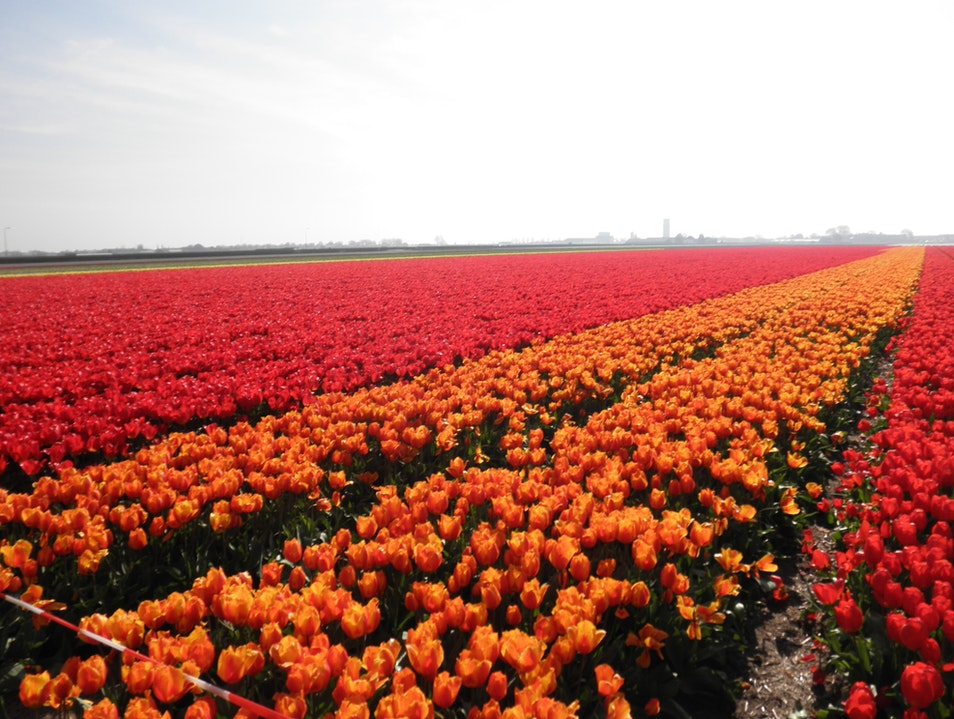 What Does 7 Million Tulips Look Like? Lisse  The Netherlands