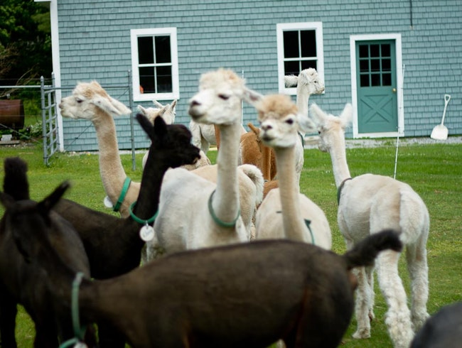 Alpacas in Maine