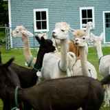 Evergreen Ridge Alpacas
