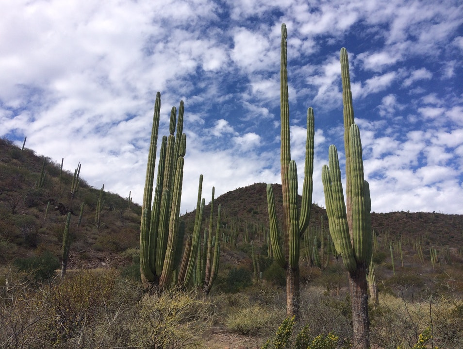 The Towering Cacti of Baja Sur Loreto  Mexico