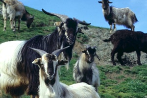 Sheep and Wildlife of Picton