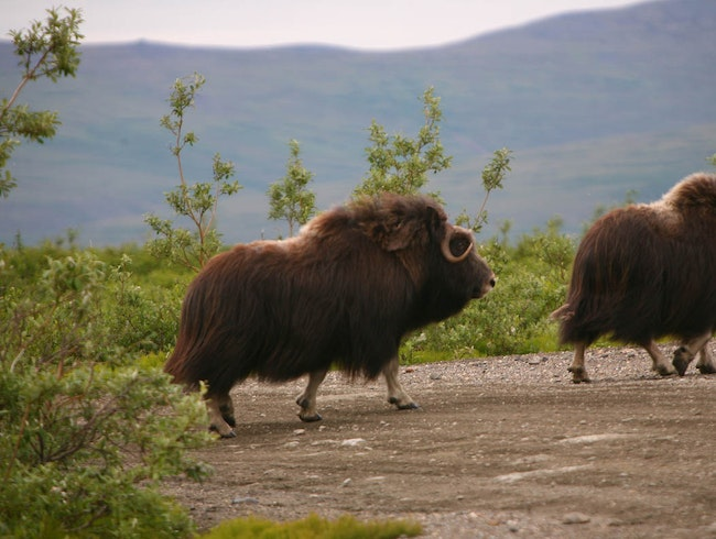 Musk Ox wandering around Nome, Alaska