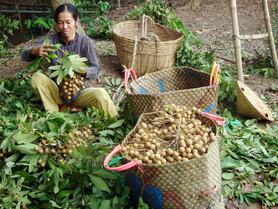 Longan fruit picker Can Tho  Vietnam