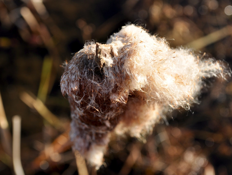 Exploding Cattails at Wachusett Meadow