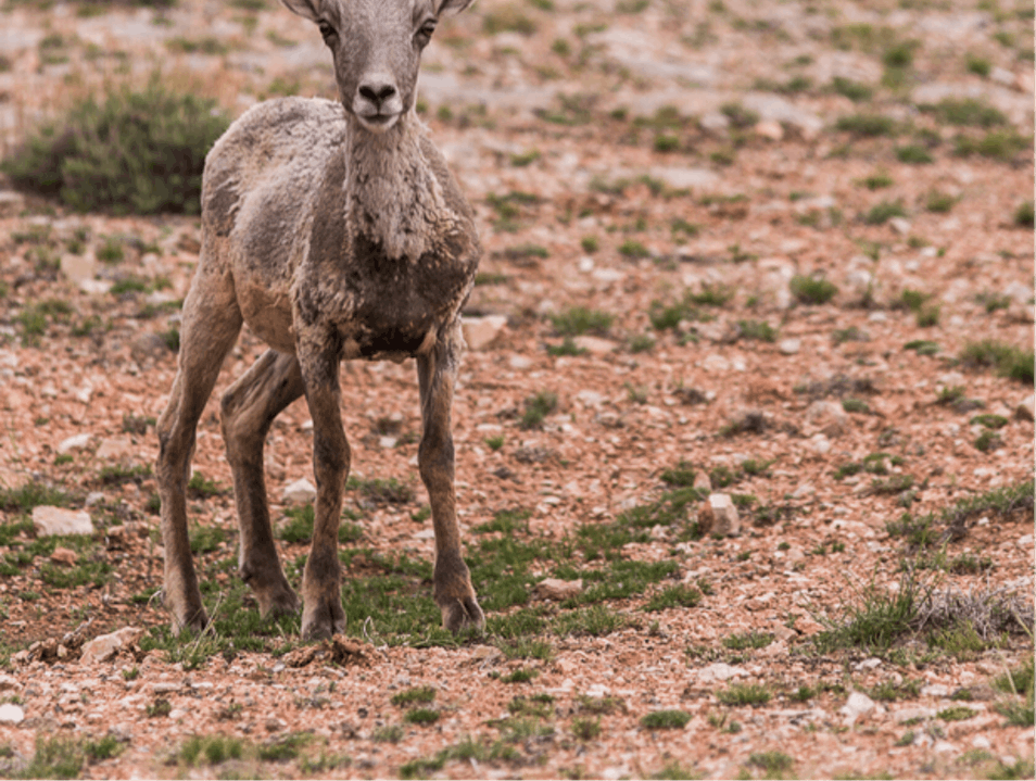 Bighorn Babies Carbon County Montana United States