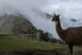 Grazing at Machu Picchu Urubamba  Peru