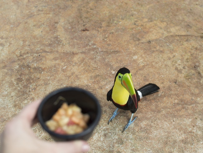 Feed the Toucans at Club Rio, Costa Rica