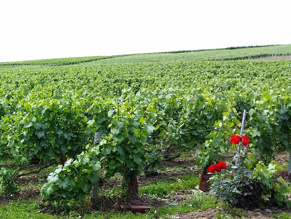 Champagne Vineyards Pierry  France