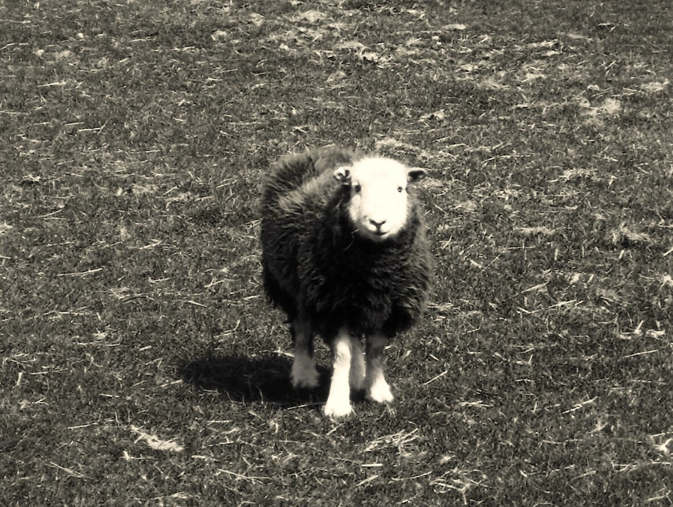 Herdwick at Howtown, Lakeland Howtown  United Kingdom