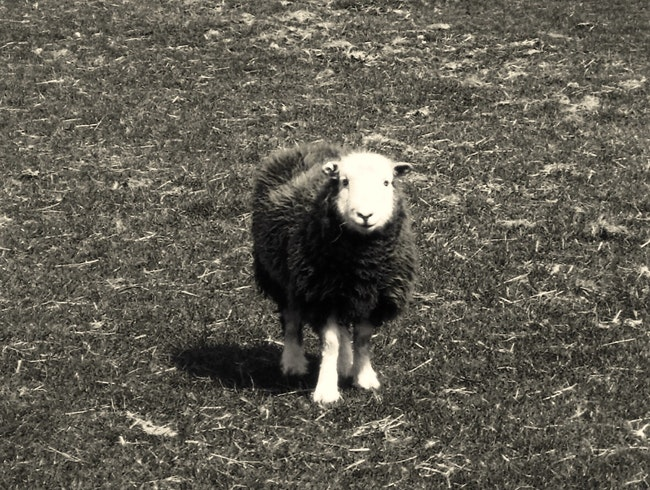 Herdwick at Howtown, Lakeland