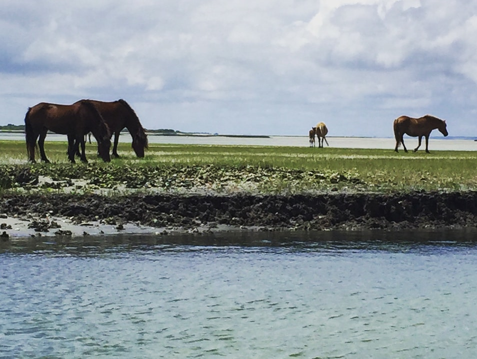 Observe the Wild Horses of the Crystal Coast Cape Lookout North Carolina United States