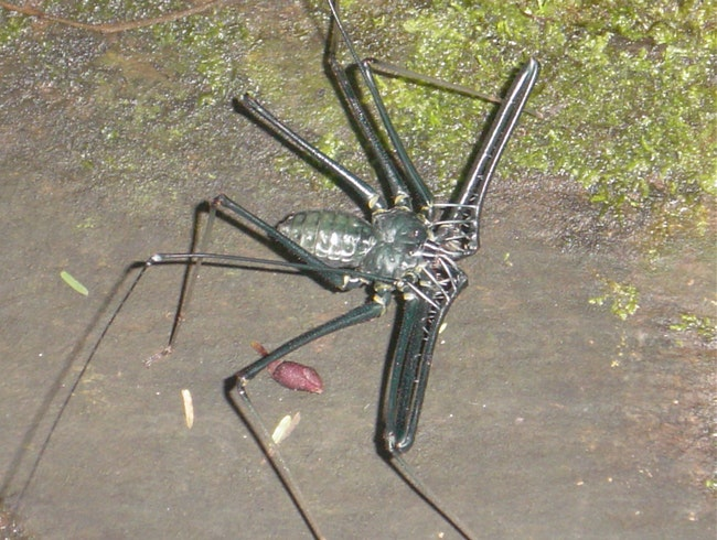 Scorpion or Whip Spider -Whatever it is - it's big
