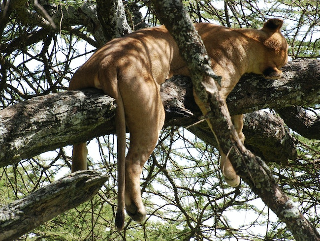 Tree-Climbing Lions of Tarangire National Park