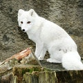 Arctic Foxes Westfjords  Iceland