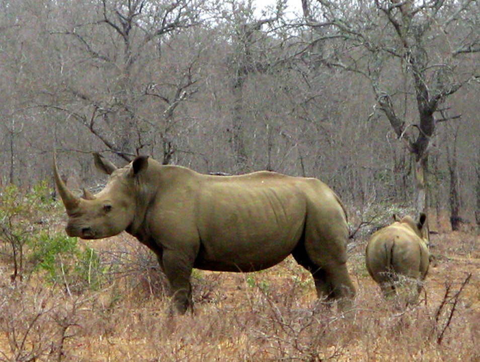 In the Sights of Rhinos Hluhluwe  South Africa