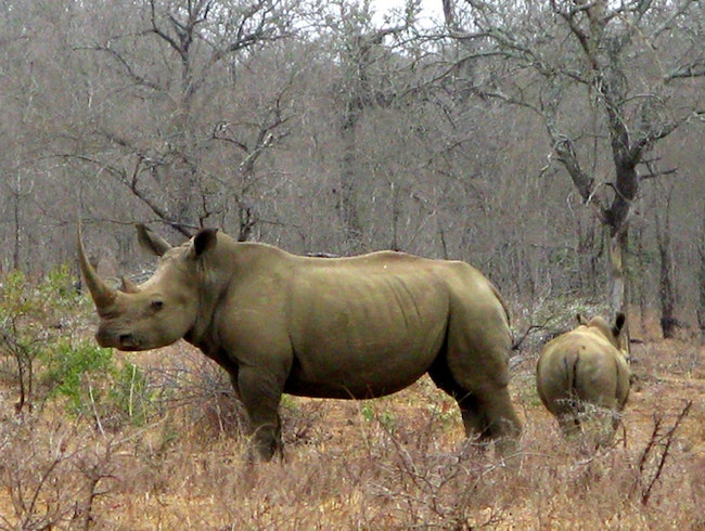 In the Sights of Rhinos